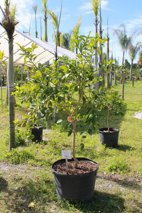 Blood Oranges Citrus Trees Group Persian Limes